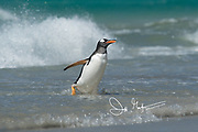 A Gentoo penguin walks out of the ocean onto Saunders Island, Falklands.