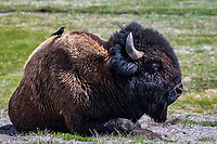 BISON- YELLOWSTONE