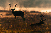 Early morning swamp deers, also known as barasinga (Rucervus duvaucelii), from Kanha National Park, Madhya Pradesh, India.