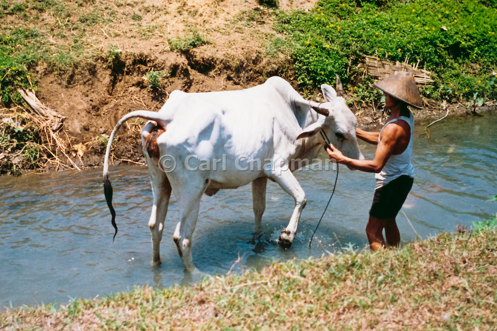 Farmer washing his cow/ox after a day in the rice paddy in Solo, Indonesia