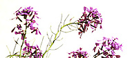 artistic image of purple flowers against white background