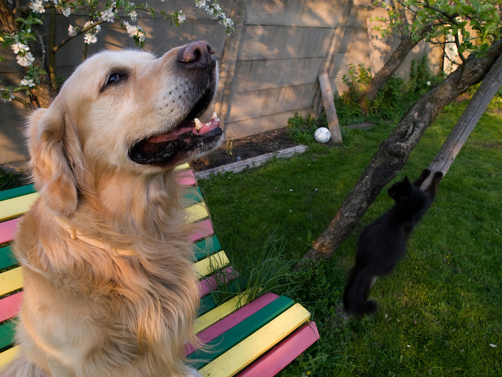 Golden Retriever Lemmy mit Haus- und Stra&szlig;enkatze Maxi.<br /> <br /> Golden Retriever Lemmy with street- and housecat Maxi.