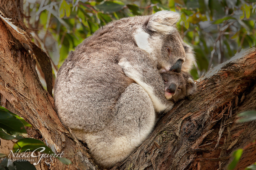 Animals, Koala mother and baby.<br />
