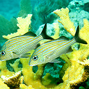 Caesar Grunt inhabit reefs in Tropical West Atlantic; picture taken Key Largo, FL.
