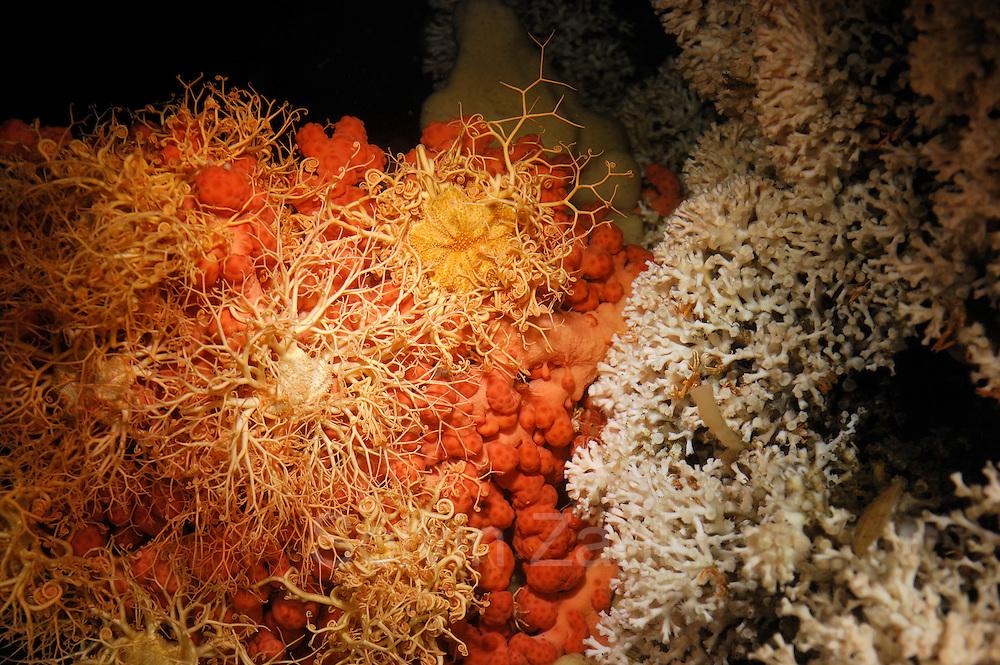 Bubblegum coral (Paragorgia arborea) with basket star (Gorgonocephalus caputmedusae) with in the live Lophelia pertusa reef in Trondheimfjord, North Atlantic Ocean, Norway   An manchen Stellen geht das von der Art Lophelia pertusa gebildete Riff in mit Gorgonien (Paragorgia arborea) besiedelte Bereiche über. Während deren rote, blasige Oberfläche von zahlreichen Gorgonenhäuptern (Gorgonocephalus caputmedusae) (planktonfangenden Schlangensternen) besetzt wird, scheinen sich zwischen den Lophelia-Ästen besonders Krebse wohl zu fühlen. Trondheimfjord, Norwegen