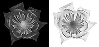X-ray image of a tulip tree blossom (Liriodendron tulipifera, grayscale) by Jim Wehtje, specialist in x-ray art and design images.