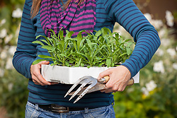 Carrying tray of spring bedding plants ready to plant out (Wallflowers, Erysimum)