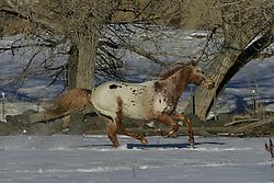 Appaloosa - Peach<br /> Castlemore Appaloosas, Colorado<br /> © Hippo Foto - Bob Langrish