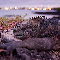 Ecuador, Galapagos Islands National Park, Santa Cruz Island, Puerto Ayora, Marine Iguana (Amblyrhynchus cristatus) resting on lava rocks at dusk near Darwin Research Station in