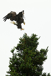 Bald Eagle (Haliaeetus leucocephalus) lands on the top of an evergreen tree, Lake Clark National Park, Alaska, United States of America