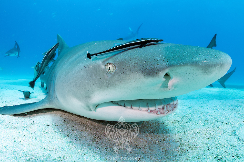 "A Lemon Shark gets a ""full service"" cleaning from a group of Remoras <br /> <br /> Shot in Bahamas"