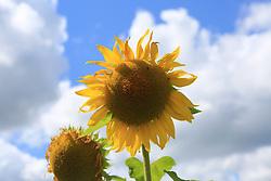 August 6, 2017 - MäRkisch Oderland, Märkisch Oderland, Germany - Germany: Sunflowers on a field in of the Märkisch Oderland in Germany...Sunflowers on a field at the Märkisch Oderland in Germany. (Credit Image: © Simone Kuhlmey/Pacific Press via ZUMA Wire)