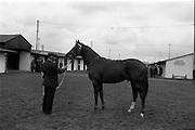 19/09/1967<br /> 09/19/1967<br /> 19 September 1967<br /> Goffs September Sales at Ballsbridge, Dublin. Picture shows a yearling chestnut colt from Ballykisteen Stud, Tipperary, bought by Lord Harrington, Patrickswell, Co. Limerick for 12,400 guineas.