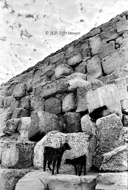 Goat mother with two black kids on the lower blocks of the Great Pyramid, Giza.  Point of view angled upward toward the sky..
