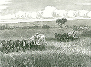 Horse-drawn mechanical harvesters in use near Adelaide, Australia.  In right background the threshed grain from a full machine is being put into sacks.  The use of such combine harvesters on huge acreages in Australia, Canada and the United States produced cheap grain, and its import depressed grain prices in Britain.  Engraving, 1886.