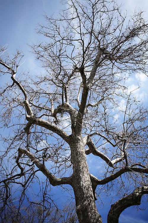 Tall Oak Against Blue Sky - Oak Glen, CA