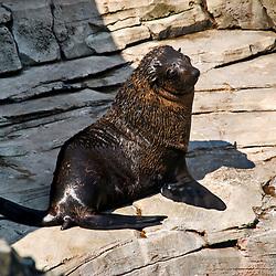 Lobo-marinho-sul-africano (Arctocephalus pusillus). Registro feito em 2009. Animal em Cativeiro.<br /> <br /> <br /> <br /> ENGLISH: Brown fur seal. Picture made in 2009. Captive animal.