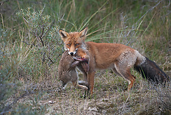 Vos met konijn als prooi in duinengebied; Red fox with prey in the Dunes