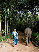 Mahout and his baby elephant returning to elephant camp at the Anantara Golden Triangle resort.