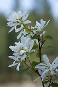 The delicate white blossoms of the Idaho state flower, the Syringa. PLEASE CONTACT US FOR DIGITAL DOWNLOAD AND PRICING.