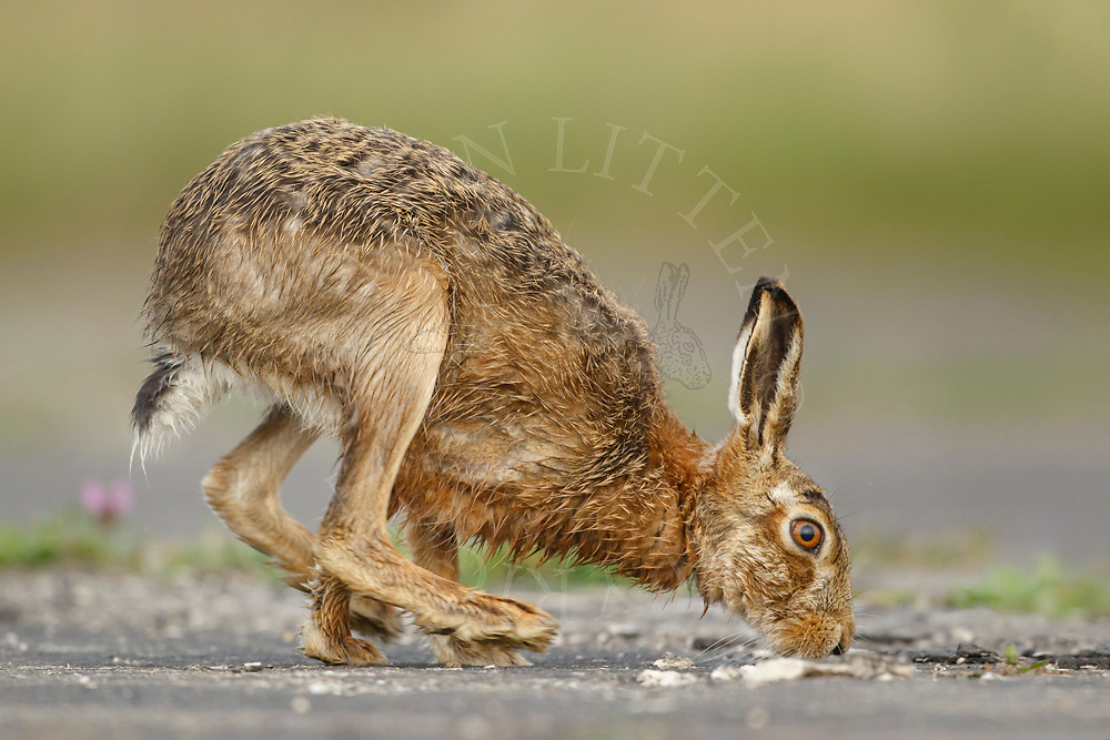 European Hare (Lepus europaeus) adult running along farm track, South Norfolk, UK. April.