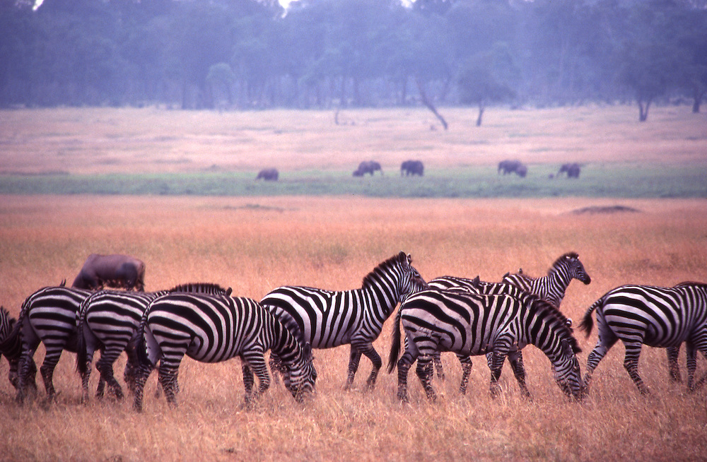 With elephant in the background, a herd of Zebra graze on dry grass in Maasai Mara game reserve in Kenya