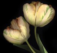 Fancy Tulips of Spring 2010. Creme. Green. Orange. Yellow.