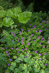 Geranium nodosum and Alchemilla mollis growing in a shady part of the garden at Glebe Cottage. Cranesbill