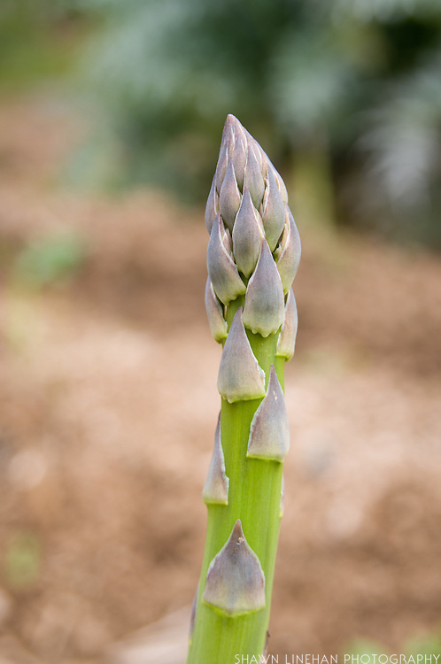 Organic asparagus rising from the ground in early spring.