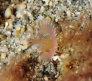 Bristleworms (Myxicola infundibulum). Location : Egersund, Norway