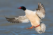 Common Merganser, Mergus merganser, male, Saginaw Bay, Michigan