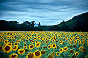 sunflower field in France Aude