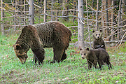 Sow Grizzly Bear with Two Cubs of the Year