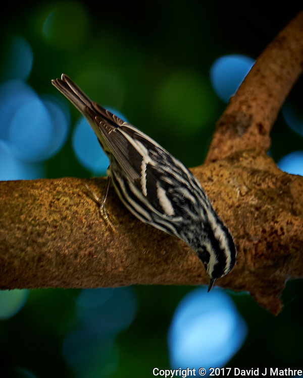 Black & White Warbler. Image taken with a Fuji X-T2 camera and 100-400 mm OIS lens (ISO 500, 400 mm, f/5.6, 1/60 sec)