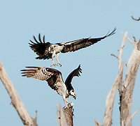 Osprey Fighting Over Ownership of a Fish at Fort Desoto Park. Image taken with a Nikon D3x and 500 mm f/4 VR lens (ISO 100, 500 mm, f/5.6, 1/500 sec)