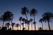 Sunset with palm tree grove silhouetted, blue sky with golden sun,Cala ferris, Torrevieja,Costa Blanca, Spain