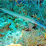 Atlantic Trumpetfish inhabit coral reefs and surrounding areas and attempt to concel their presence by drifting near similar elongate structures in Tropical West Atalantic; picture taken Grand Turk.