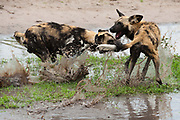 Two wild dogs, Lycaon pictus, one with a GPS collar on its neck, fighting in the water.