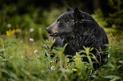 An American black bear (Ursus americanus), eats dandelions just outside the boundary of Kluane National Park and Preserve along Yukon Highway 3, near Gribbles Gulch in the Yukon Territory, Canada. While most of a black bear's diet is vegetation, black bears are omnivores meaning that they eat both plants and animals (grasses, berries, roots, insects, fish and mammals). Black bears typically weight 200 to 600 pounds. Not all black bears are black in color -- some are brown or even blond. They are most easily distinguished apart from grizzly bears by the lack of the pronounced shoulder hump found in a grizzly bear. The black bear is not considered to be a threatened species, though care to keep them from getting human food and garbage is needed to protect them from conflicts with humans. Kluane National Park and Reserve is known for it's  massive mountains, spectacular glacier and icefield landscapes including Canada's tallest peak, Mount Logan (19,545 ft.). The 5.4 million acre park is also known for it's wildlife, including grizzly bears, wolves, caribou and Dall sheep. The park is one of a collection of U.S. and Canadian national and provincial parks that form the largest international protected area in the world. Kluane National Park and Reserve was selected as a UNESCO World Heritage Site for being an outstanding wilderness of global significance. EDITORS NOTE: Image is a slightly cropped version of Image ID: I0000xjOvlNPfAYk