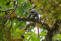 Red-eared Guenon (Cercopithecus erythrotis erythrotis) male.  Endemic subspecies to Bioko Island, Equatorial Guinea.<br /> Endangered Species (IUCN Red List: VU).