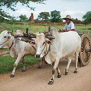 BAGAN, Myanmar - A man from a village near the Paya-thone-zu Group in the Bagan Archeological Zone drives an ox cart with produce along the dirt road. Bagan, Myanmar (Burma).