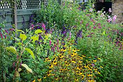 Border with Salvia 'Amistad', Rudbeckia triloba, Persicaria orientalis and Rudbeckia triloba