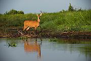 Marsh Deer (Blastocerus dichotomus)<br /> Northern Pantanal<br /> Mato Grosso<br /> BrazilMarsh Deer (Blastocerus dichotomus) female<br /> Northern Pantanal<br /> Mato Grosso<br /> Brazil