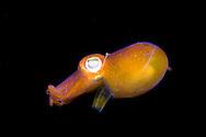 Bottletail squid, Sepiadarium kochi, Komodo, Indonesia.