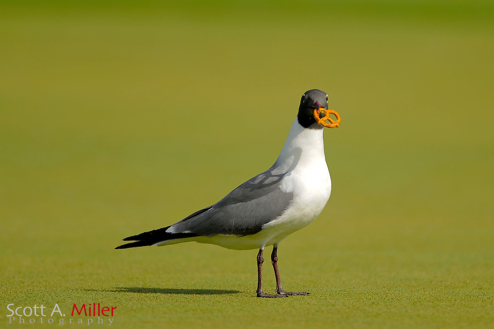 Bird with pretzel during the final round of the Symetra Tour's Guardian Retirement Championship at Sara Bay in Sarasota, Florida April 28, 2013. ..©2013 Scott A. Miller