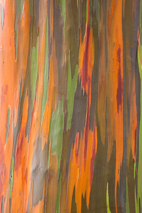 The 'painted bark of Rainbow Eucalyptus tree on Oahu, Hawaii