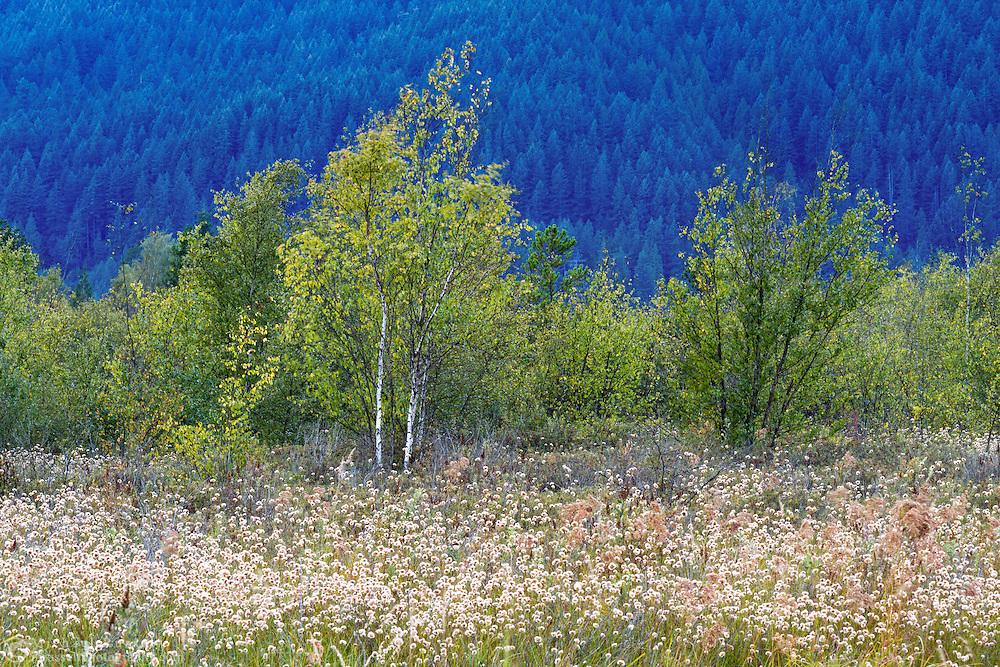 Birch Trees (Betula papyrifera) and Chamisso's Cotton Grass (Eriophorum chamissonis) growing at Pitt-Addington Marsh Wildlife Management Area in Pitt Meadows, British Columbia, Canada