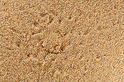 Dune spider burrow (Leucorchestris arenicola)<br />
