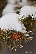 Lodgepole pinecones in winter in Yellowstone National Park, Wyoming, USA