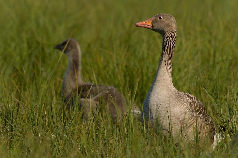grey goose; anser anser; lake takern reserve; sweden